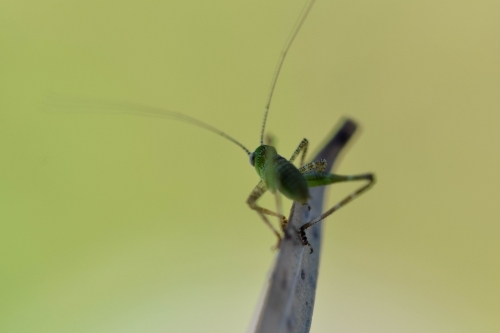 Close up of a tiny grasshopper on a leaf with a green background