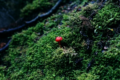 Close up of a tiny red toadstool growing on a green mossy background