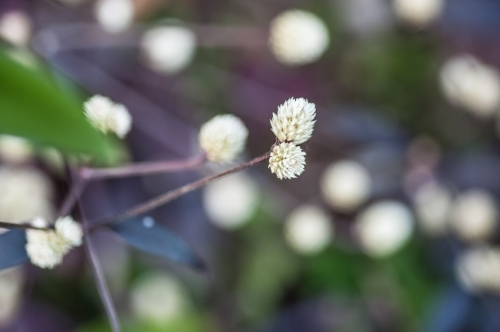 Close up of a white wattle