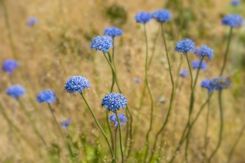 Close up of blue pincushion wildflowers