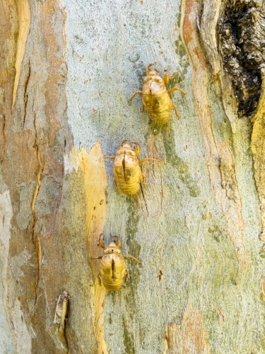 Close up of cicada shells glowing gold against the colourful patterned trunk of a eucalypt tree