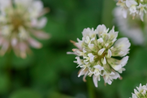 Close up of clover flower with a blurred green background