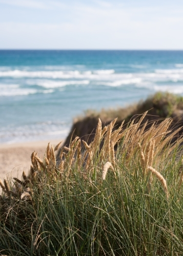 close up of coastal grasses on sand dunes at a surf beach