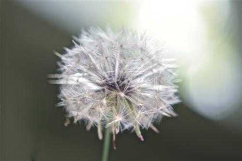 Close up of full dandelion head