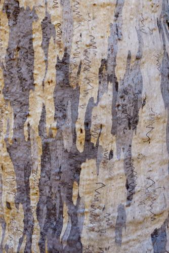 Close up of gum tree trunk with rough texture and grey, yellow and white colouring