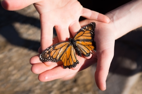 Close up of hands holding a monarch butterfly