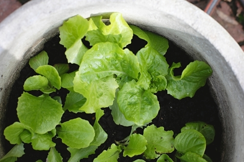 Close up of homegrown lettuce in a pot