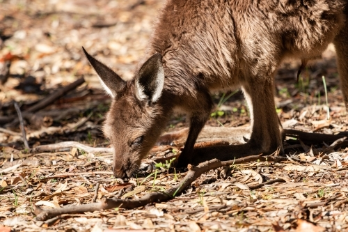 close up of kangaroo feeding on green shoots