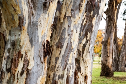 Close up of multiple bark textures on eucalyptus trees lined up