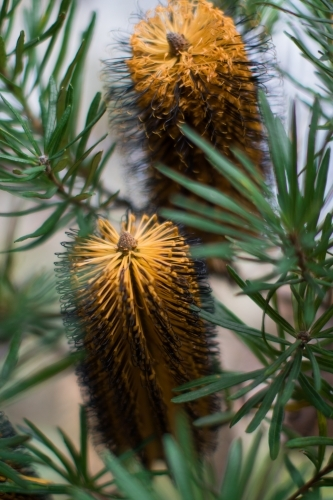 Close up of native yellow banksia flowers