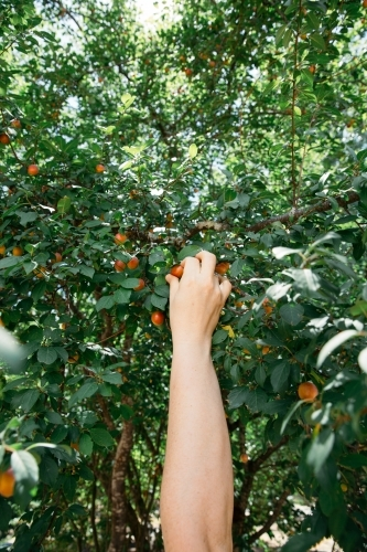Close up of person hand picking fruit