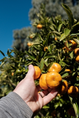 Close up of person picking fruit
