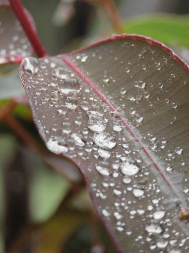 Close up of Raindrops beading on a gumleaf
