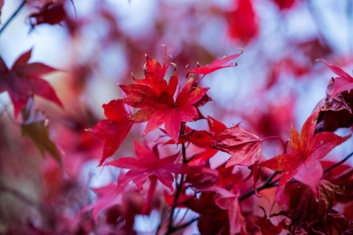 close up of red maple leaves in autumn