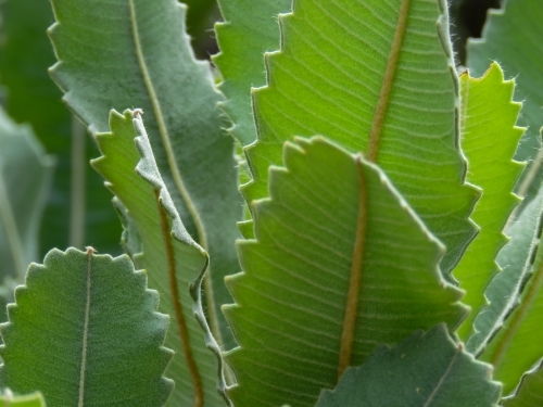 Close up of serrated Banksia leaves