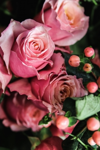 Close up of  several pink roses and rose hip