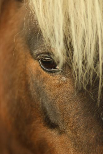 Close up of Shetland pony at the local show