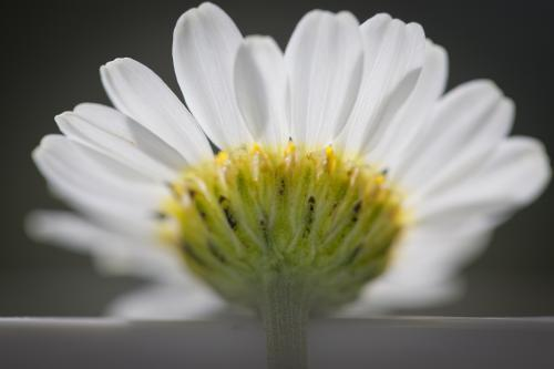 Close up of underside of a chamomile daisy flower