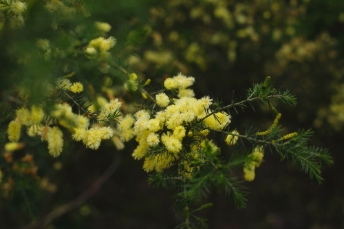 Close up of wattle in bloom in tree