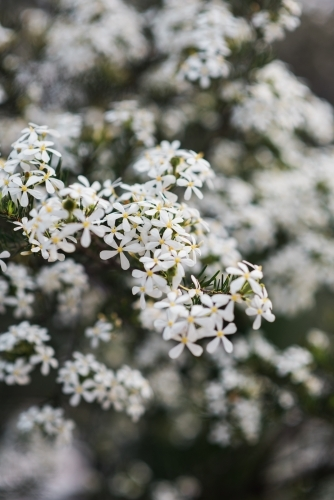 Close up of white flowers on a bush