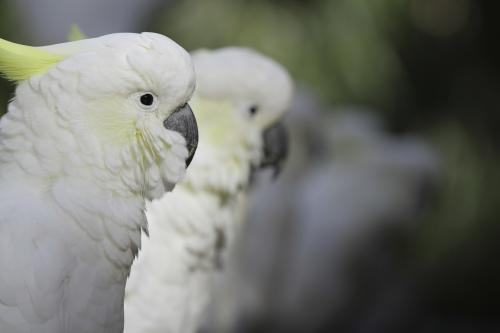 Close up shot of a line of sulphur crested cockatoos