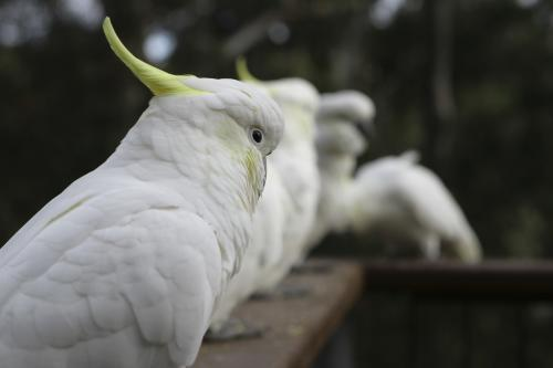 Close up shot of a row of sulphur crested cockatoos