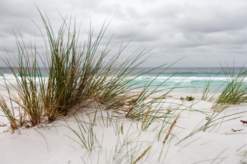 coastal grasses growing in sand dunes at a surf beach
