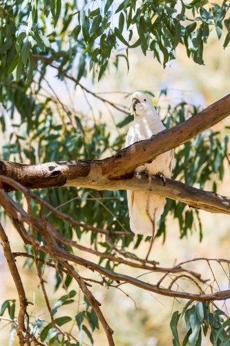 Cockatoo perched high up in a branch of a eucalyptus tree