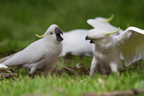 Cockatoos Having an Argument