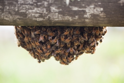 Colony of bees
