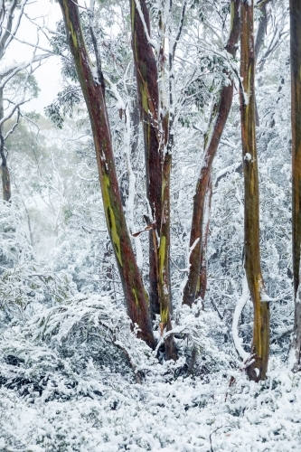 colourful gum tree trunks in snowy landscape