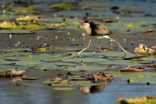 Comb-crested jacana walking across water lilies