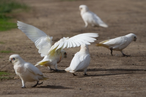 Corella With Wings Spread on Dirt Track