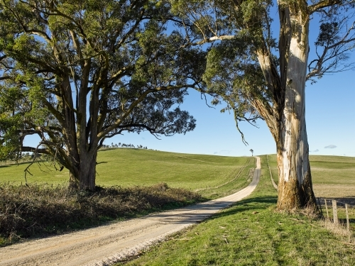 country road leading through gum trees and over a grassy hill