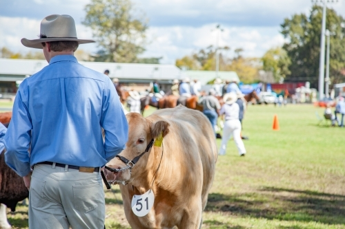 Cow on lead with owner at agricultural show