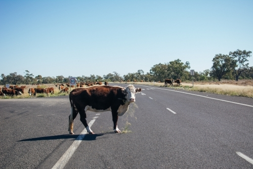 Cow standing in the middle of highway