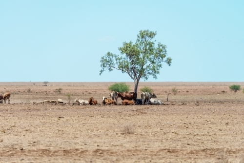 Cows under tree in outback Queensland