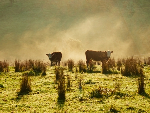 Cows Grazing on Foggy Morning in Strathewen, Victoria