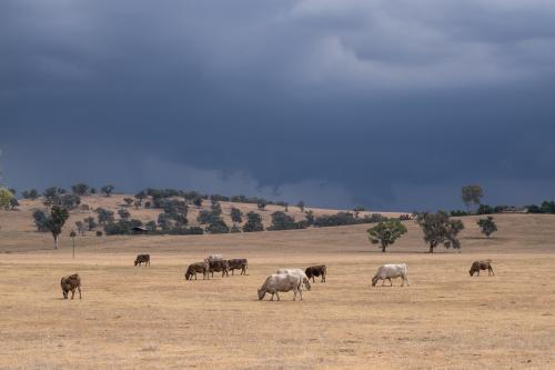 Cows grazing with stormy skies in background