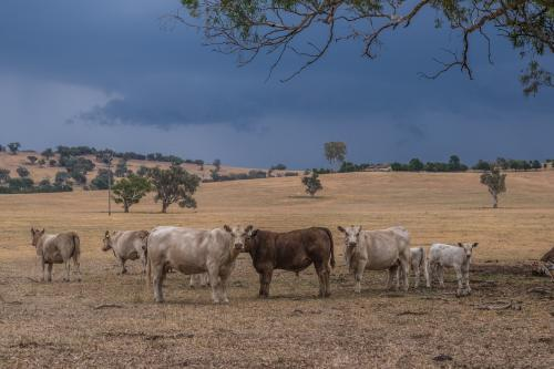 Cows under trees in storm
