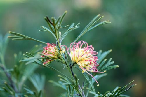 Cream and pink grevillea flower on green