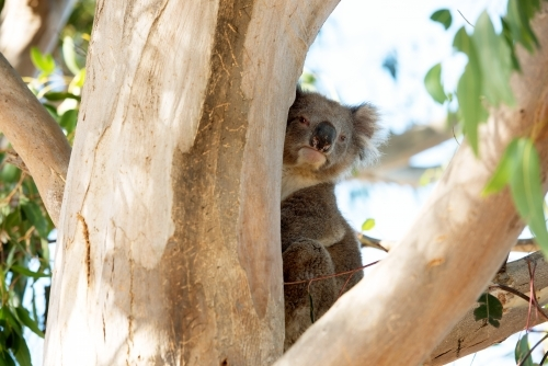 Curious koala peeking around gum tree trunk