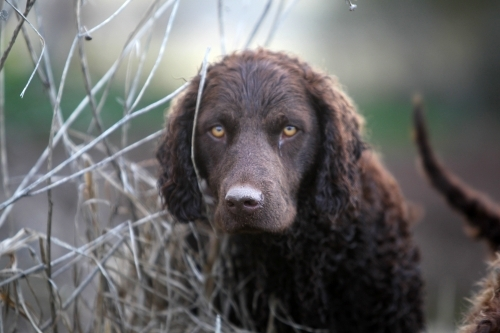 Curly retriever dog looking at camera