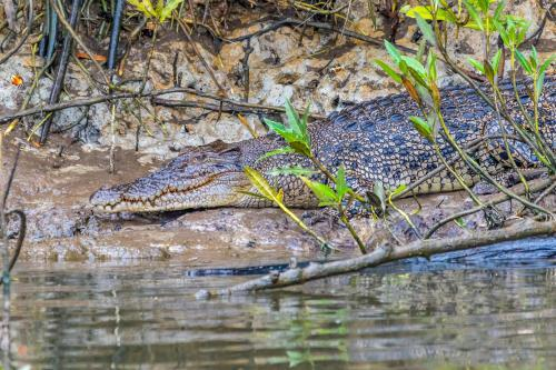 Daintree River Crocodile