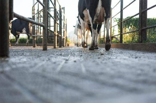Dairy cows walking out after being milked