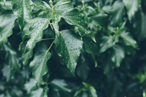 Dark green leaves with drops of rain beading on their surface