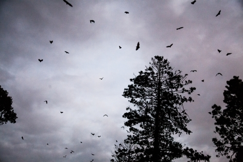 Bats flying in the sky and pine trees silhouetted at dawn