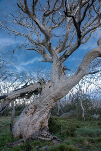Dead snow gum with bare branches against blue stormy sky with green grass