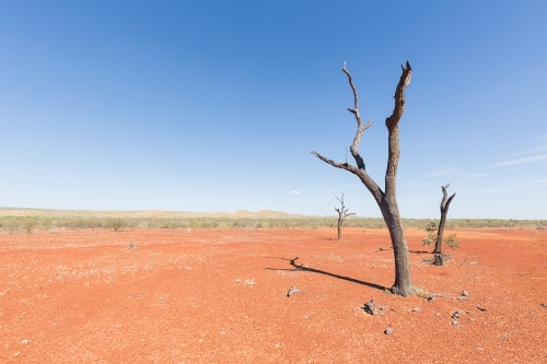Dead tree in the dry, dusty outback of Queensland