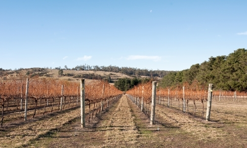 Deciduous grape vines in a vineyard with country views